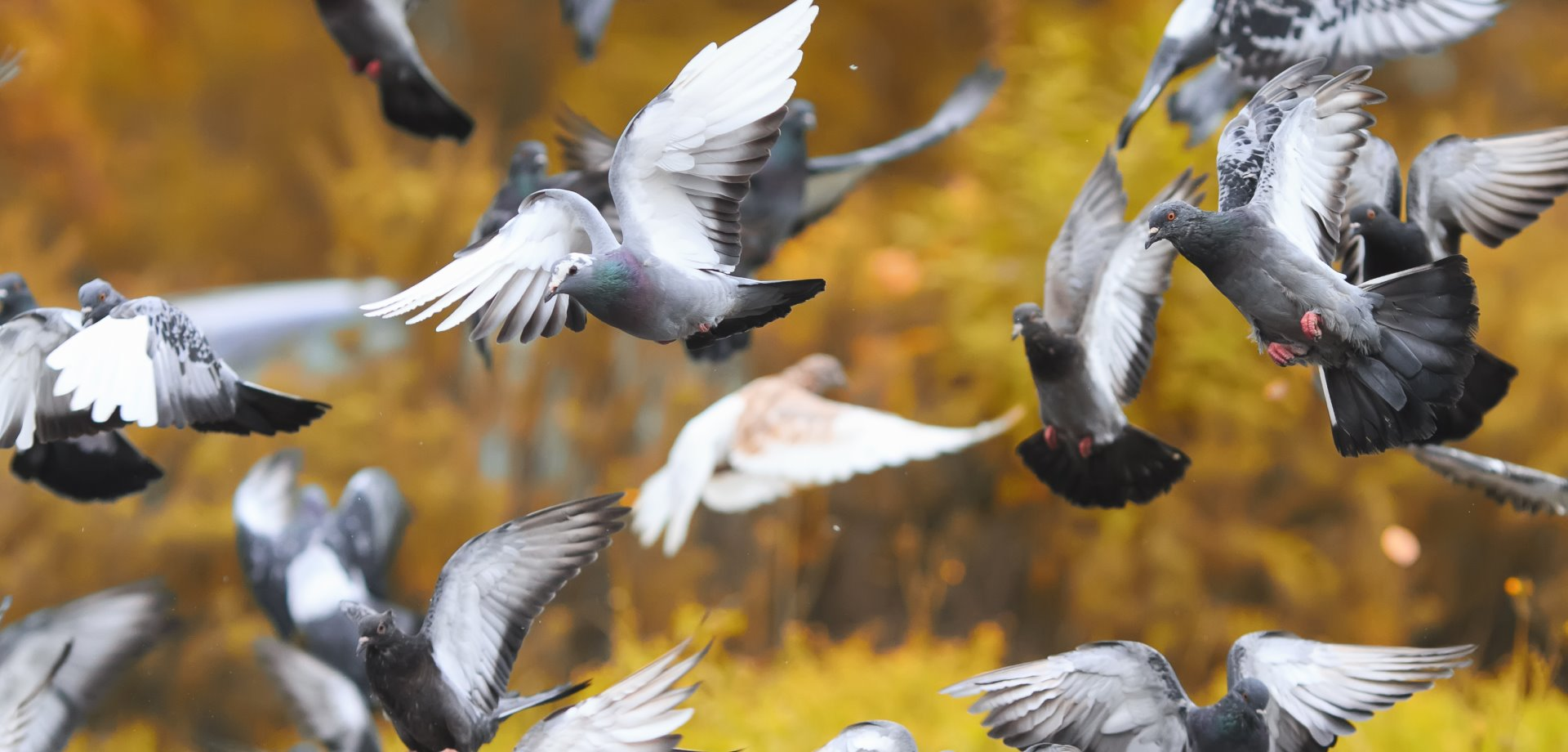 Where are they? - Canadian Pigeon Fanciers Association