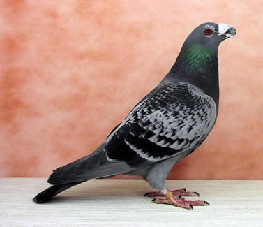 Photo gallery - Canadian Pigeon Fanciers Association